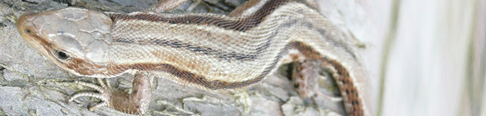 Skilled Ecology Reptile Surveys